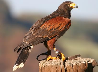 LOST Harris Hawk