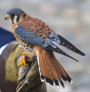 Pair of American kestrels and pair of harris hawks and barn owls wanted