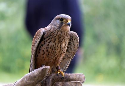 Pair of Kestrels