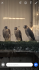 2020 Quality Pure Male Barbary Falcon For Sale