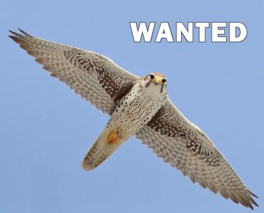 ***Wanted*** Mature Female Prairie Falcon