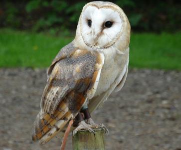 Male barn owl wanted