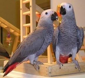 Tam 2 pairs talking African Grey Parrots looking for new and loving home